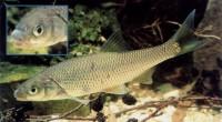 Состав рациона ельца типично речной: состоит из различных беспозвоночных...